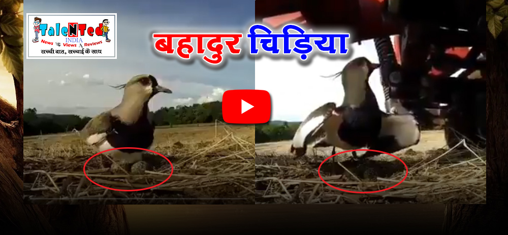 Viral Video Bird Spreads Wings To Protect Her Eggs From Tractor