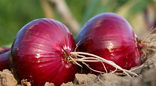 Constantly Increasing Onion Prices | Daiuly News Updates Talented India